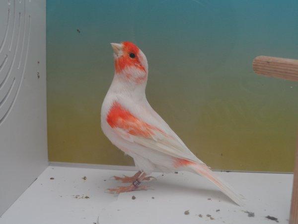lipochrome msaîque rouge