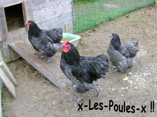 ▲▼▲  Mes poules Orpingtons bleues !!  ▲▼▲