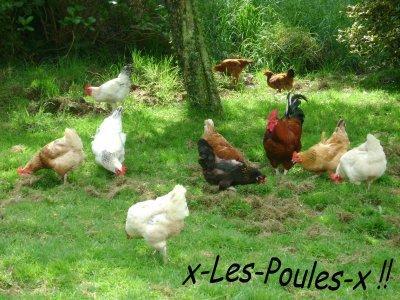 ▼▲▼  Mes poules standard !!  ▼▲▼