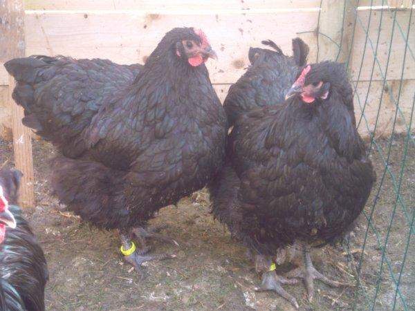 Coq et Poule Orpingtons Noires