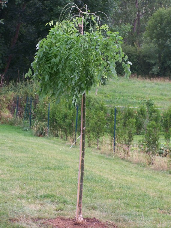 Sophora pleureur (Sophora japonica Pendula)
