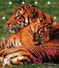 j adore tigre