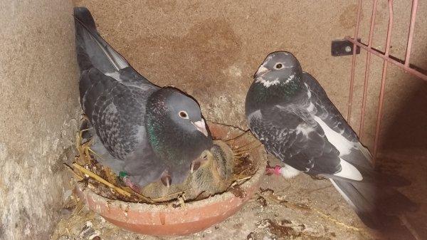 couple reproducteur male gebr.hagens et femelle aarden