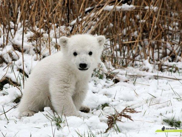 bebe ours polair
