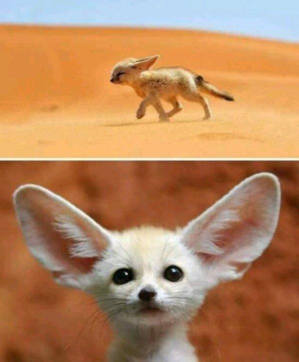 Le joli Fennec du désert algérien