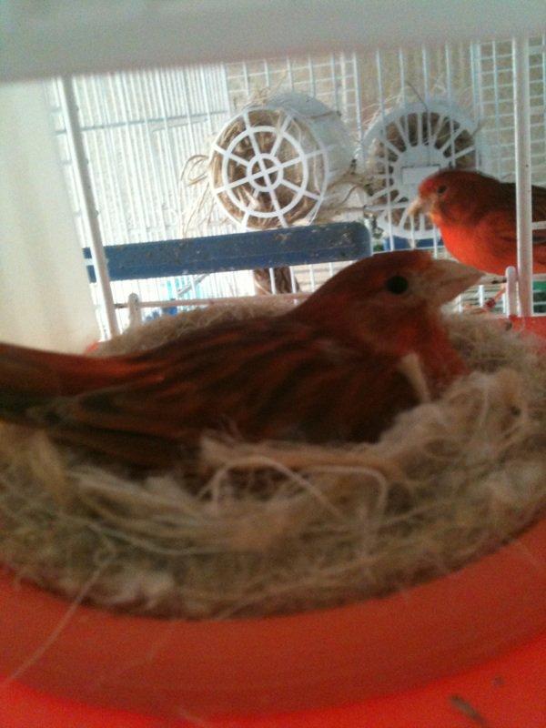 Femmel brun rouge au nid
