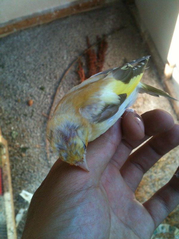 Oiseaux en mu