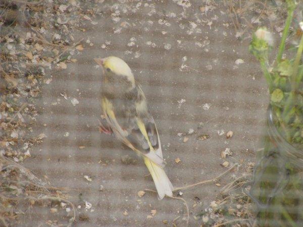 femelle verdier ecosse panaché 2013