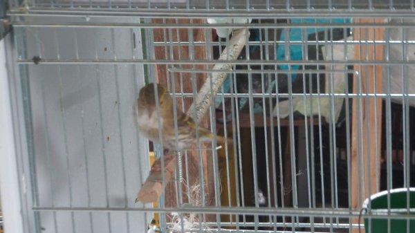 Femelle brun des aulnes refait son nid