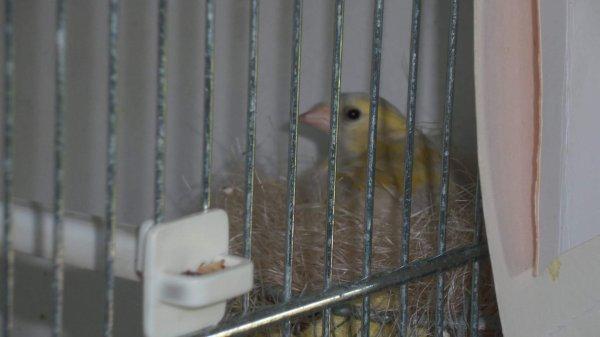 Femelle Isabelle double diluer des aulnes au nid