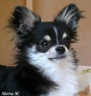 Photo de Chihuahua-Harrold