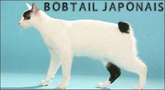 Le bobtail japonais.