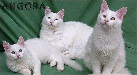 Angora Turc & Angora