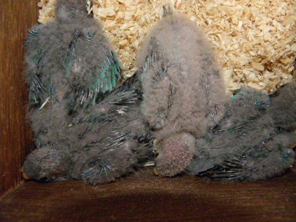 Evolution des petits - 4 splendides poitrine blanche + 1 turquoisine opaline