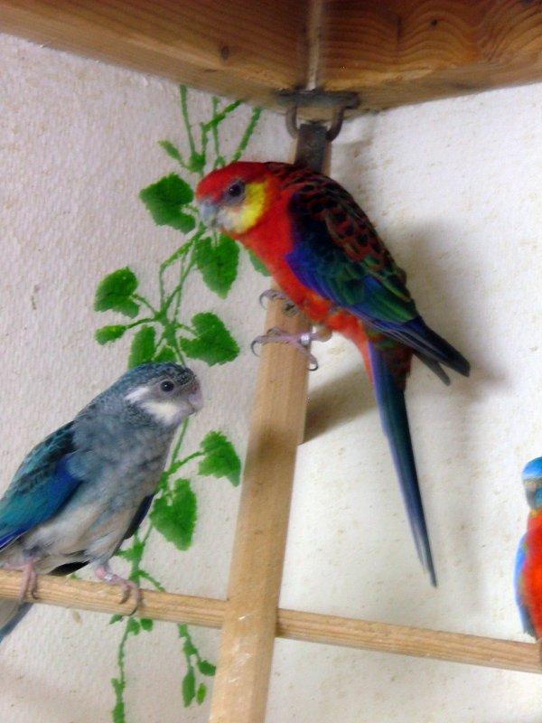 Nouveau  couple : Mâle dos rouge/bleu x Femelle bleu