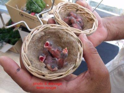 tarin du venezeula aux nids
