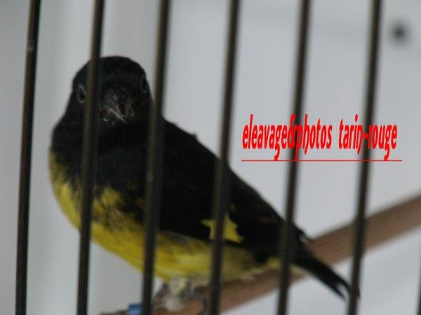 Tarin à ventre jaune (carduelis xanthogastra )