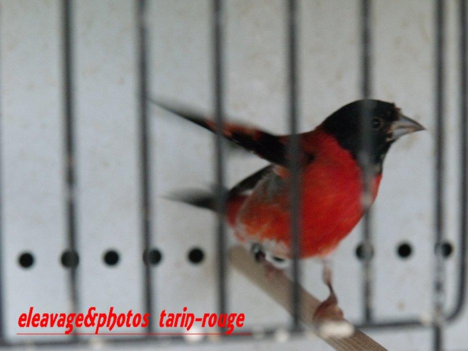 jeune mâle tarin rouge 2013