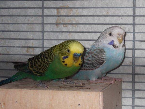 Mon Couples De Perruches