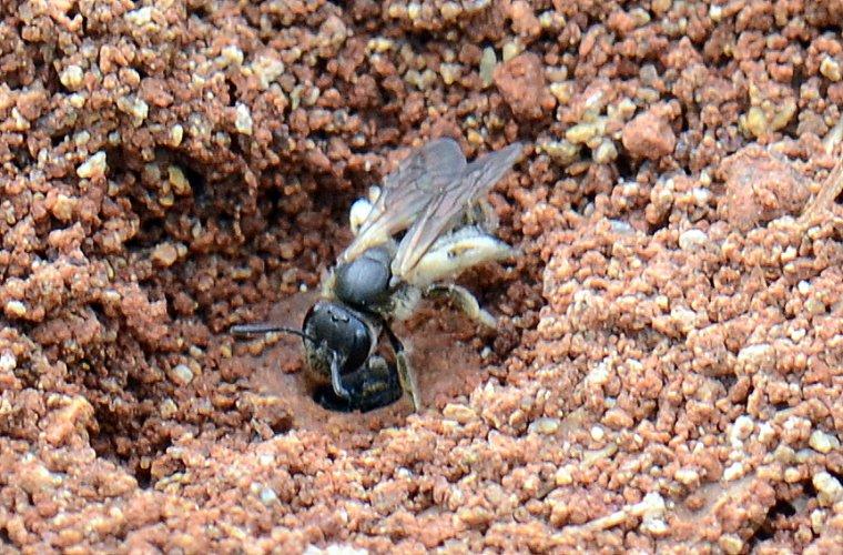 958. Les abeilles solitaires: HALICTIDAE suite