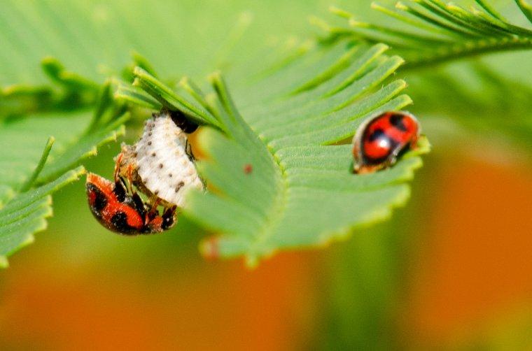 973 les australiennes cochenilles et coccinelles kinouclic photos d 39 insectes de fleurs et - Larve de coccinelle ...