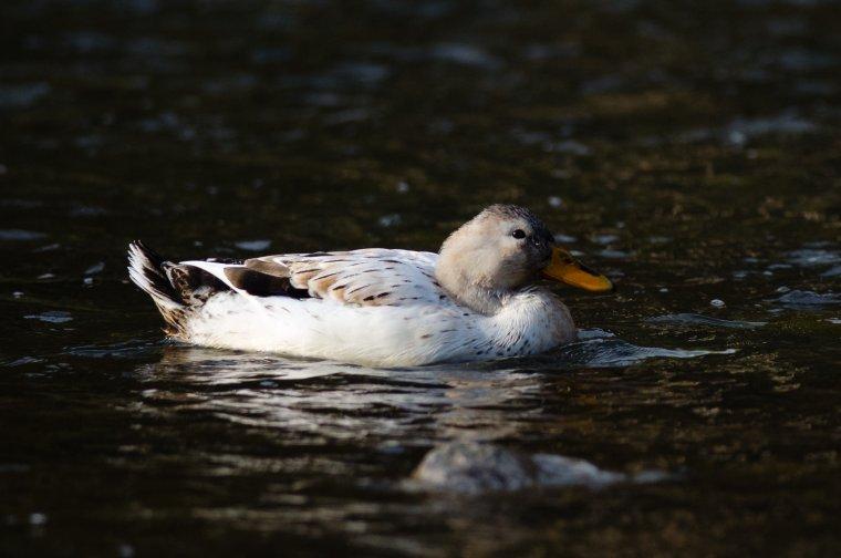 987. Le canard à bec jaune