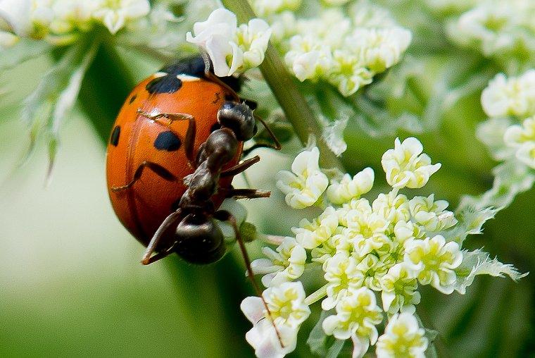 """991. Elevage intensif, """"le puceron et la fourmi"""""""