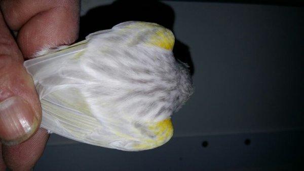 Agate opale jaune mosaïque