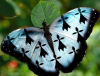 papillon-bzh