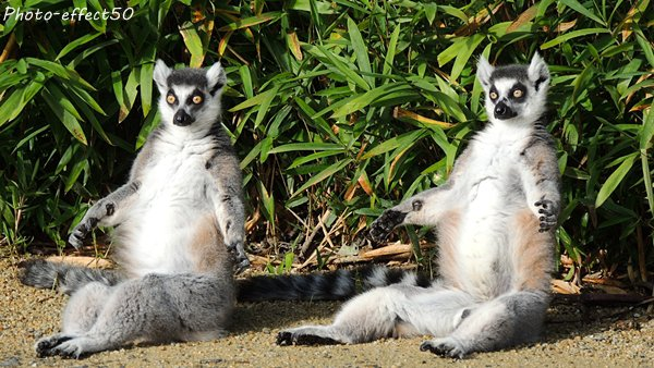 Lémuriens (maki catta)