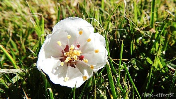 Fleur d'abricotier