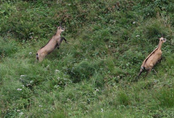Les chamois du Hohneck 30.07.2017