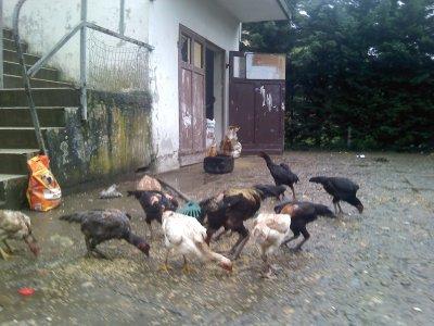 poule gadon renuionnése et coq gadon renionné