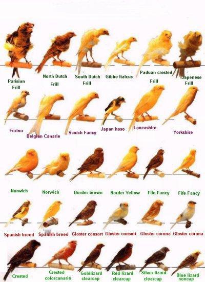 une  partie  des  races de  canaris  que  j'aime