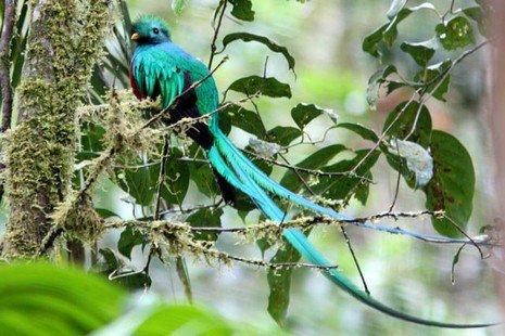 Quetzal Resplensissant
