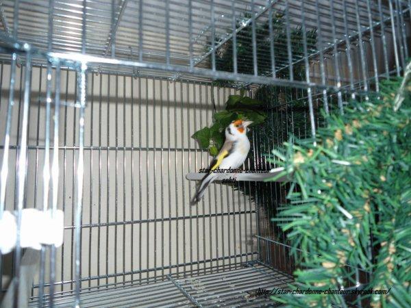 chardonneret agate gorge blanche porteur Tête blanche