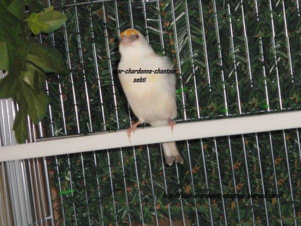 chardonneret panaché gorge blanche