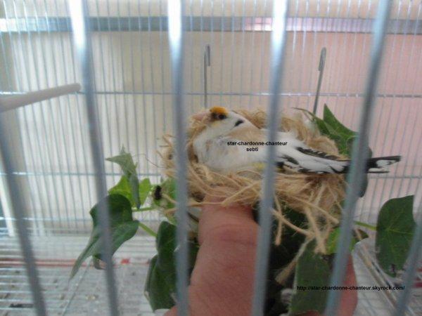 femelle panaché gorge blanche