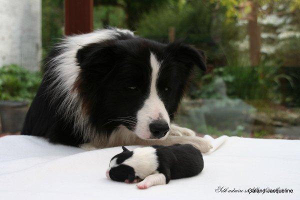 """Nichée été 2011,  Chiots nés le 24 avril 11, de Hendi et Willowtree I'm a Star """"Seth"""""""