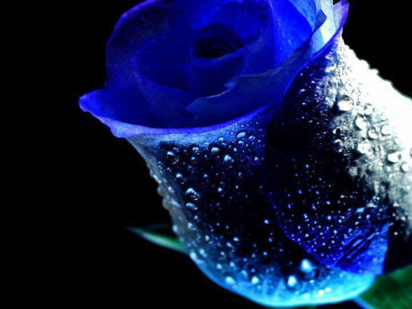 ♥♥~~ ma rose préfèrer ~~♥♥