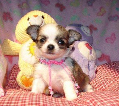 Chihuahua trop mignon!!!!