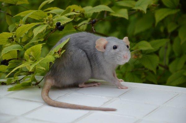 Eh oui j'ai des rats! :)
