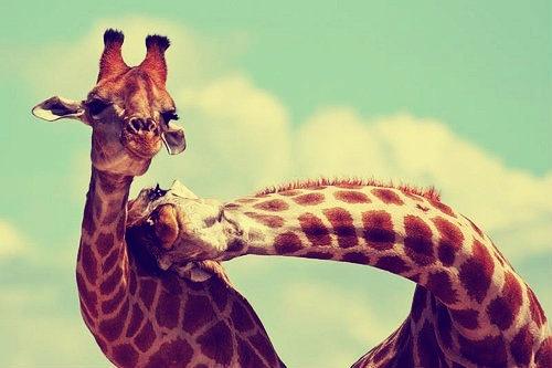 #Girafes