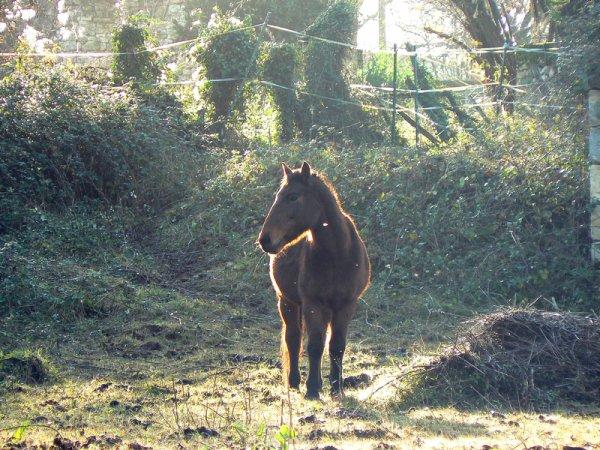 """""""La vue de ce petit cheval m'impressionna d'une manière que je ne puis très bien expliquer. Il était plus qu'exceptionnellement fort, rapide et superbe dans sa façon de se mouvoir, il me faisait rêver."""" Walt Morey"""