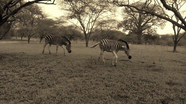 Découvrez nos excursions en petit comité une meilleure façon de découvrir le Senegal en toute convivialité. Réserve de Bandia avec nos amis du safari village et du club safari