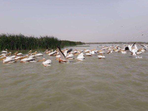 Réserve de djoudje 3 eme réserve ornithologique dans le monde. Une belle découverte avec nos amis de la Normandie