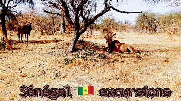 Réserve de bandia avec nos amis de la Somone royal baobab jet tours. Une belle matinée dans le sourire et le soleil du Sénégal.