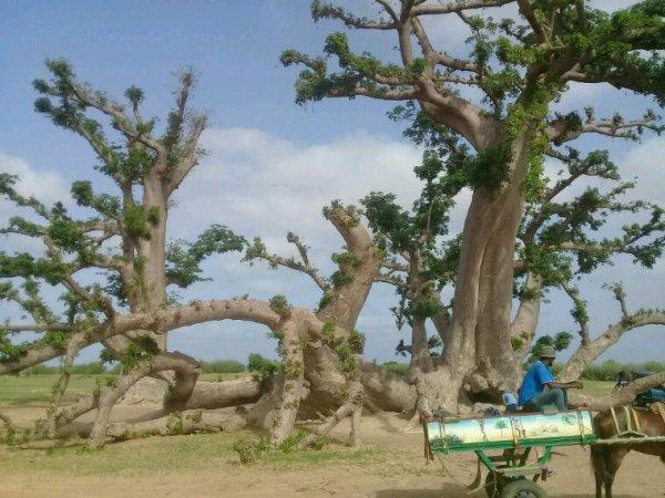 Une belle matinée en TGV avec nos amis du royal baobab à la Somone.