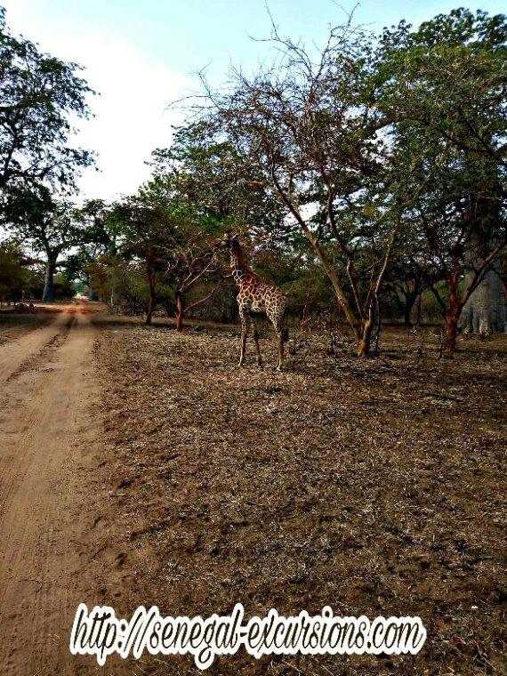 Une belle matinée a la réserve animalière de bandia au départ du royal baobab jet tour Somone