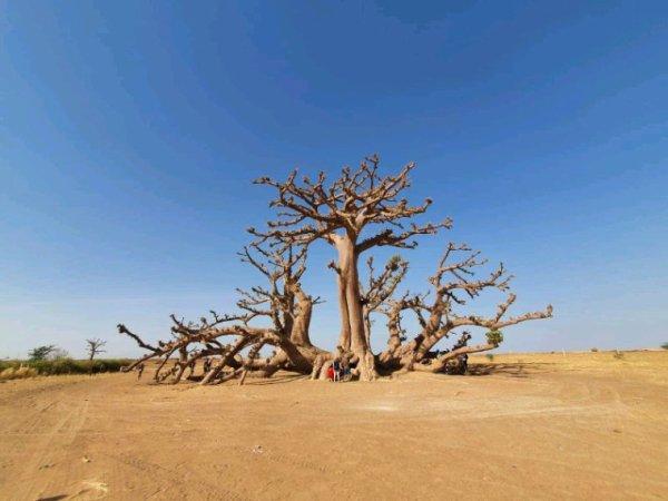 Balade en tgv senegalais dans la forêt des baobab avec nos amis de l'hôtel royal baobab à  la somone